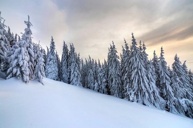 Alberi di abete rosso verde scuro alti coperti di neve sui picchi di montagna e cielo nuvoloso.