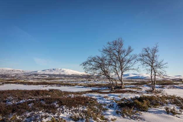 Alberi di betulla e neve davanti alle montagne nelle montagne di dovre in norvegia