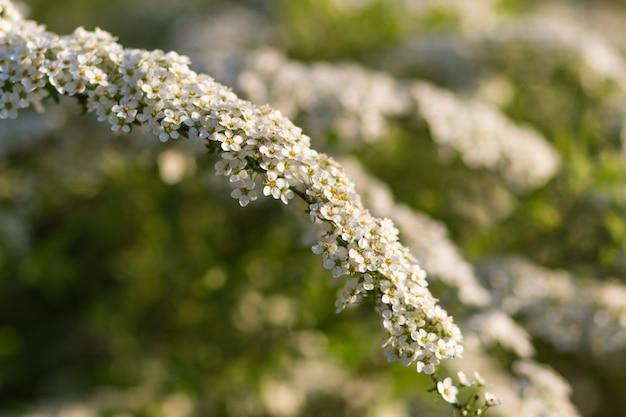 Alberi di fioritura spiraea