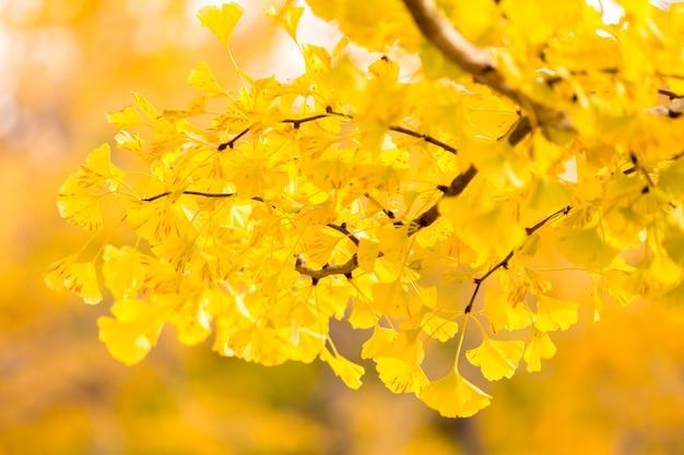 Alberi di ginkgo in autunno