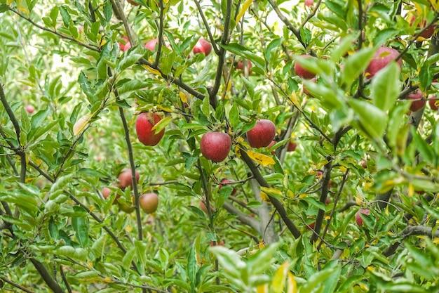 Alberi di mele in un frutteto villaggio di passu, gilgit-baltistan, pakistan.