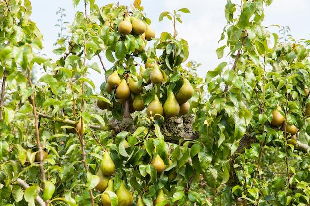 Alberi di pera carichi di frutta in un frutteto al sole