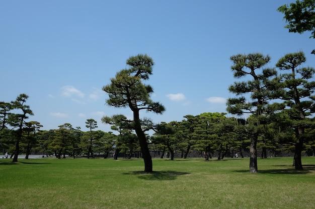 Alberi di pino che crescono nel parco nel centro di tokyo, in giappone