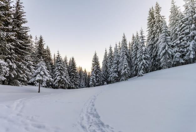 Alberi di pino in montagna in una giornata di sole invernale.