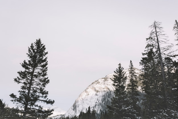Alberi di pino in montagna