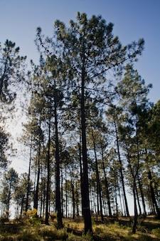 Alberi di pino
