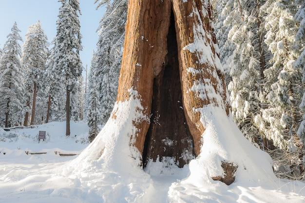 Alberi di sequoie giganti in kings canyon e sequoia national park