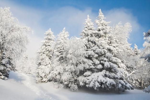 Alberi favolosi nella neve gelida mattina nella foresta