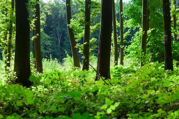 Alberi forestali sfondi di natura verde legno del sole