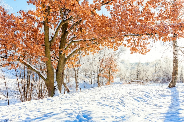 Alberi gelidi nella foresta nevosa. freddo mattino soleggiato