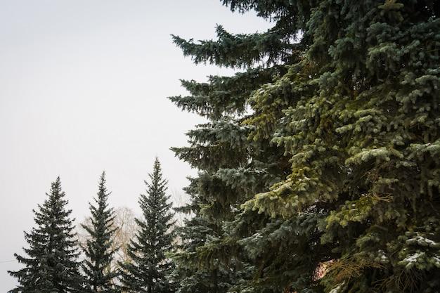 Alberi sempreverdi in inverno