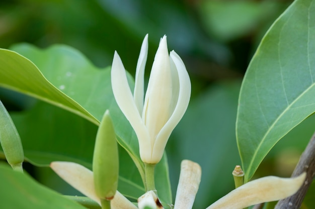 Albero bianco del fiore di champaka e foglia verde