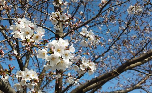 Albero bianco di fioritura giapponese del ramo di sakura del fiore di ciliegia con il fondo del cielo blu.