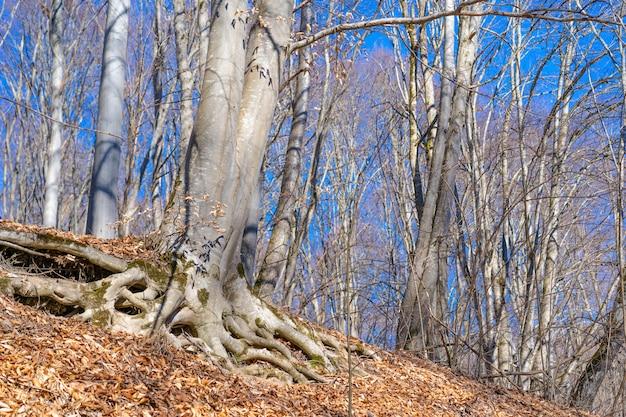 Albero con grandi radici sopra il terreno