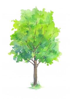 Albero con le foglie verdi isolate