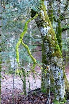 Albero coperto di muschio verde