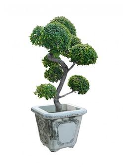 Albero dei bonsai, albero nano isolato su bianco