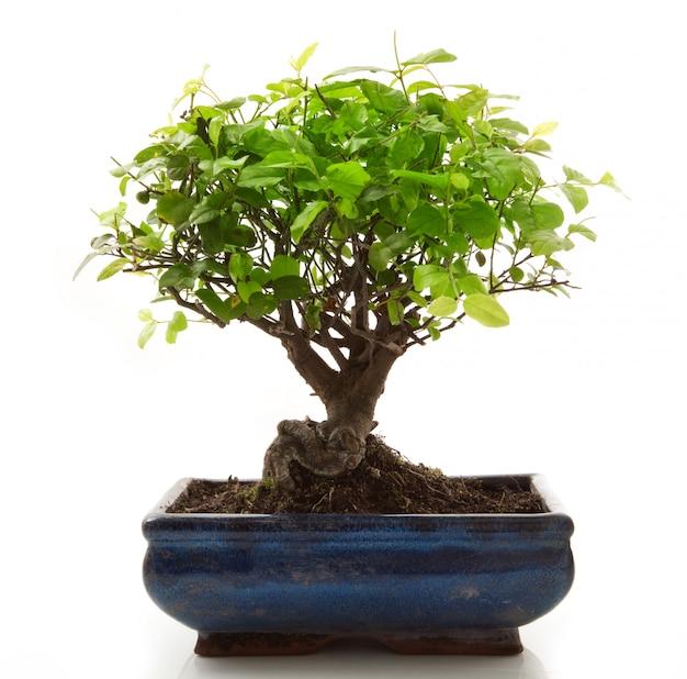 Albero dei bonsai su bianco