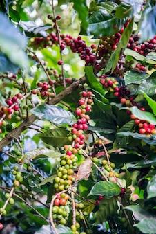 Albero del caffè di arabas sulla pianta del caffè
