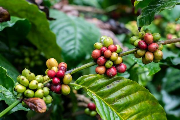 Albero del caffè