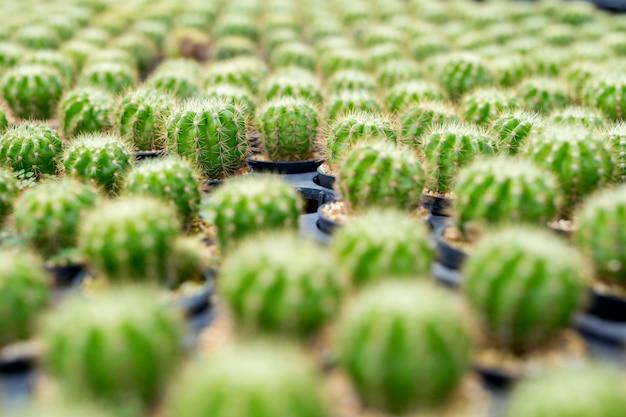 Albero del cantus piantato in una pentola con luce naturale