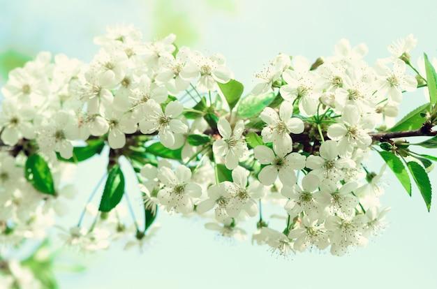 Albero del fiore, priorità bassa della natura della sorgente. giorno soleggiato. pasqua e il concetto di fioritura. la primavera fiorisce con i raggi del sole, copia lo spazio.