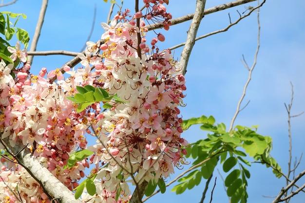 Albero dell'acquazzone del rainbow, albero tropicale splendido, con cielo blu e foglie verdi nell'ora legale.