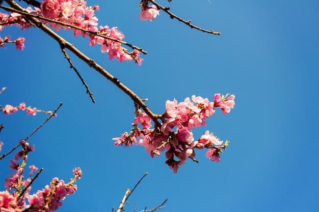 Albero della primavera con i fiori su cielo blu