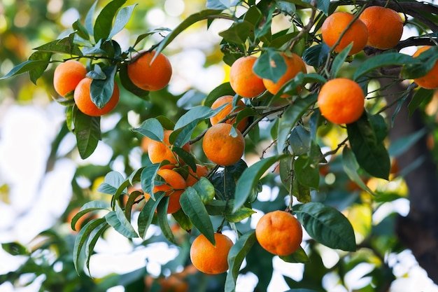 Albero di agrumi nel frutteto