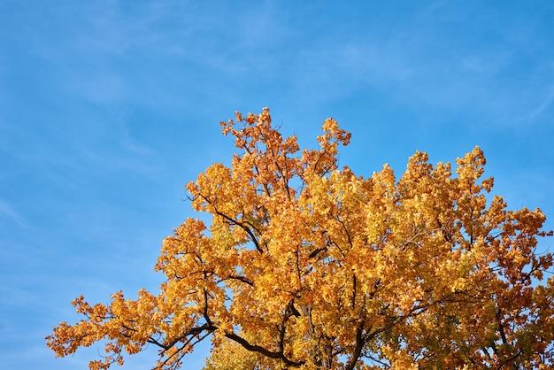Albero di autunno con foglie d'oro sul cielo blu
