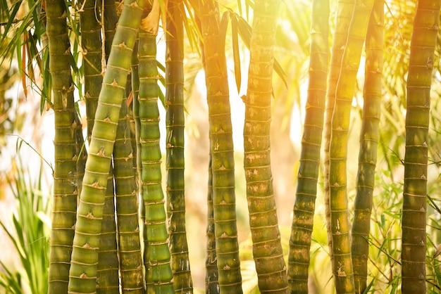 Albero di bambù fresco nella foresta di bambù della giungla con