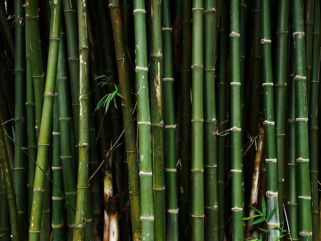 Albero di bambù sullo sfondo della natura