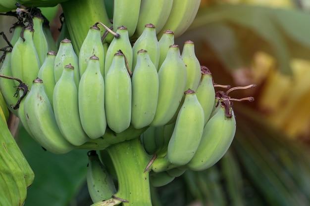 Albero di banane con grappolo di banane