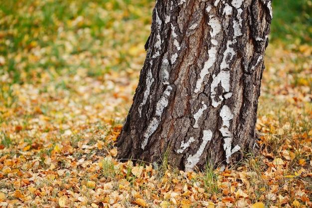 Albero di betulla e fogliame giallo di autunno su erba in parco