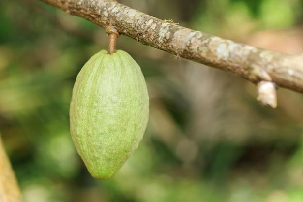 Albero di cacao (theobroma cacao). baccelli di frutta di cacao biologico in natura.
