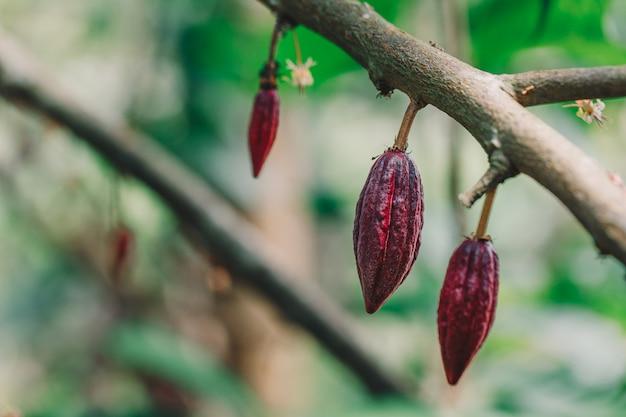 Albero di cacao (theobroma cacao). baccelli organici della frutta del cacao in natura.