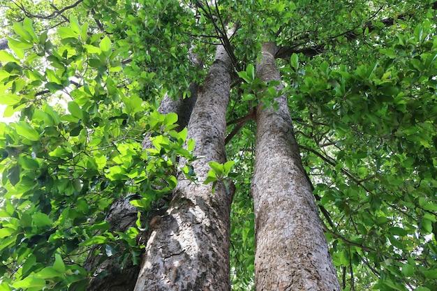 Albero di dipterocapus, grande albero nella foresta profonda