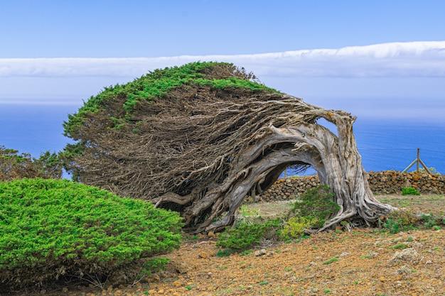 Albero di ginepro fenicio, isola di el hierro, isole canarie, spagna