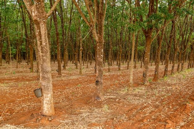 Albero di gomma cultivo