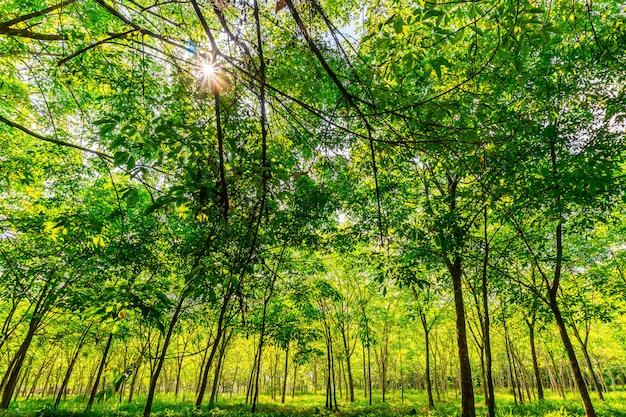 Albero di gomma para, piantagione di gomma in lattice e gomma per alberi