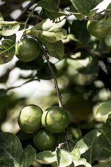 Albero di limone in giardino