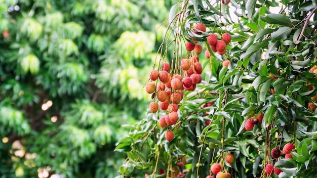 Albero di litchi in un frutteto.
