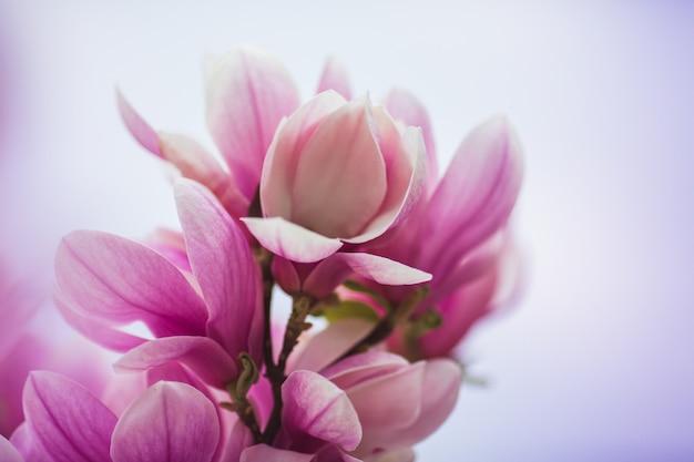 Albero di magnolia fiorito con grandi fiori rosa