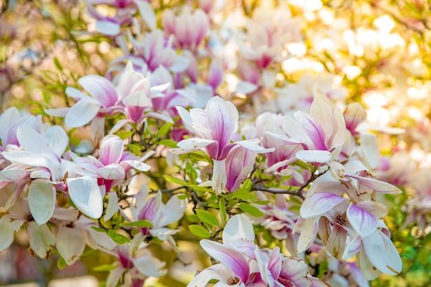 Albero di magnolia in fiore, primi piani su fiori colorati.