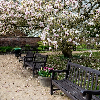 Albero di magnolia rosa chiaro in giardino inglese