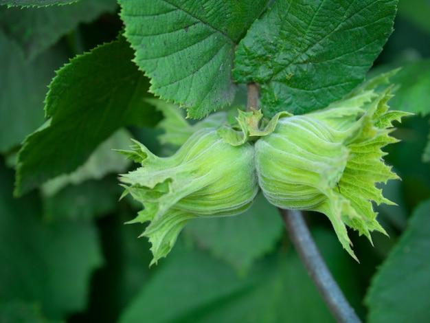 Albero di nocciole (corylus avellana). due giovani nocciole che appendono sull'albero. la nocciola cresce su un ramo verde