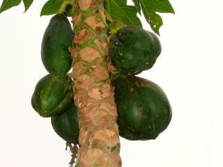 Albero di papaia con frutta acerba