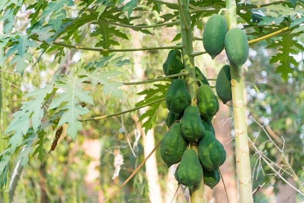 Albero di papaia verde fresco con il mazzo di frutti su sfondi sfocati