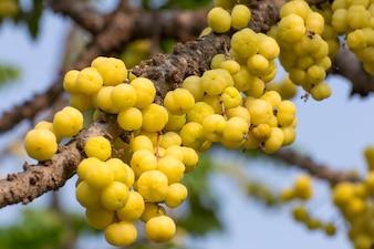 Albero di Phyllanthus acidus della stella Gosseberry