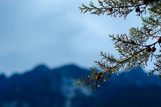 Albero di pino che ha goccia d'acqua sul seme e lascia con la montagna